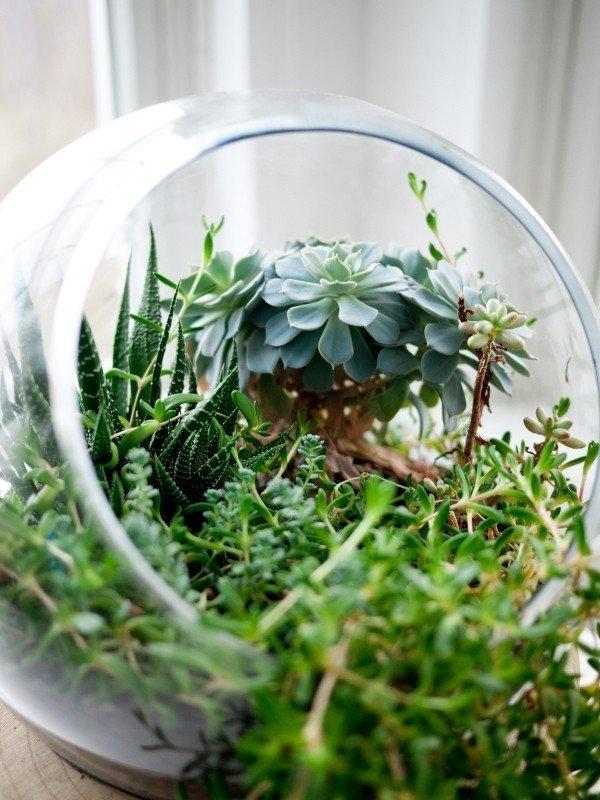 Jarrón de cristal con plantas crasas o suculentas, que no necesitan tanto agua pero si luz para vivir